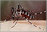 mosquito magnet lurex attracts asian tiger mosquitoes
