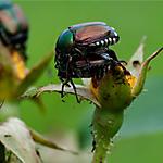 Fight Japanese Beetles