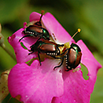 Japanese Beetle Library