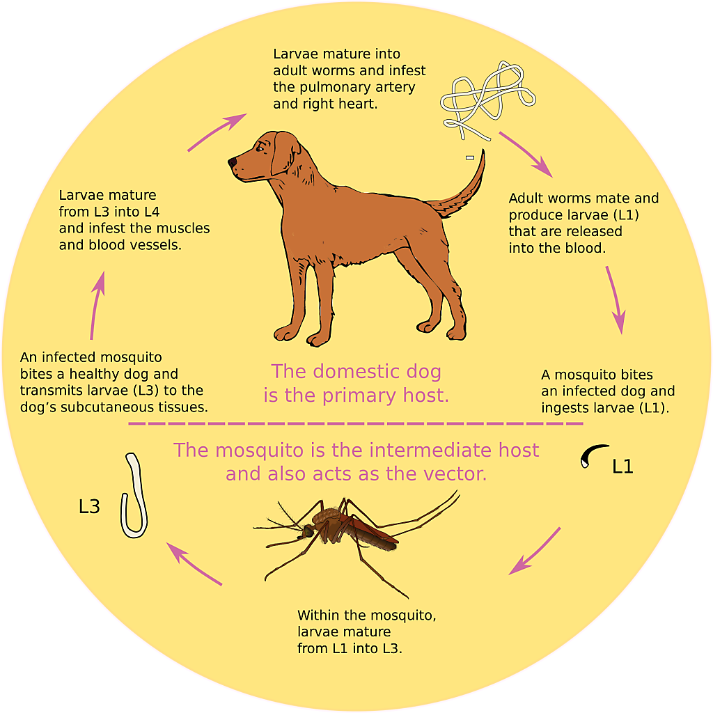 Heartworm cycle
