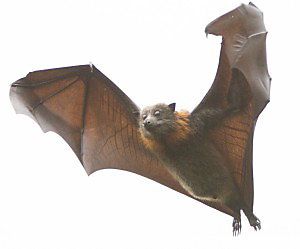 mosquito myths bats