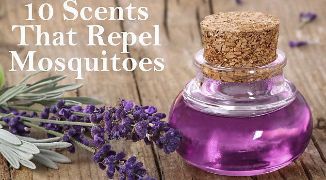 Scents That Repel Mosquitos