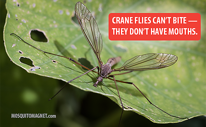 Crane Fly facts