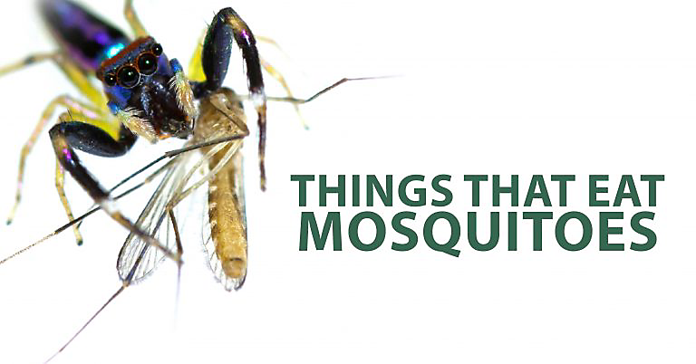 Things that eat mosquitoes, what eats mosquitoes, eat mosquitoes
