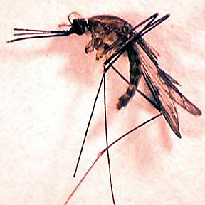The Quads or Common Malaria Mosquito
