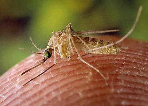 House Mosquito