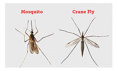 Mosquito vs. Crane Fly