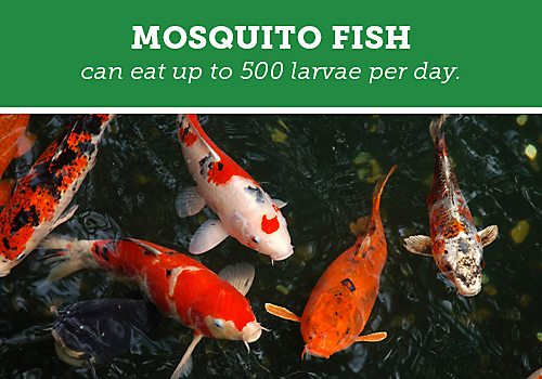 Backyard mosquito control guide for Mosquito fish facts