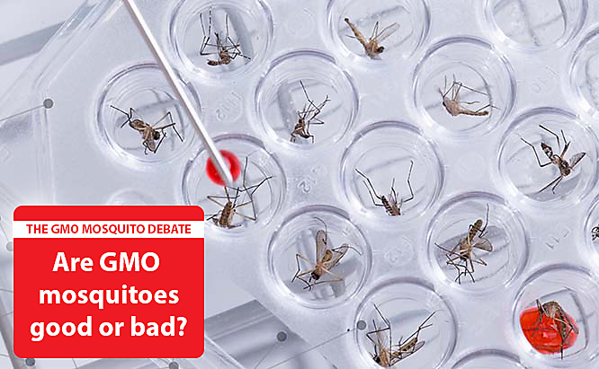 Are Genetically Modified Mosquitoes Good or Bad?