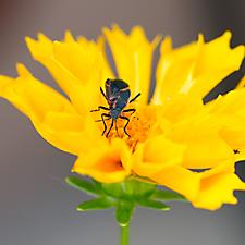 Boxelder Bug