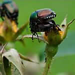 target japanese beetles