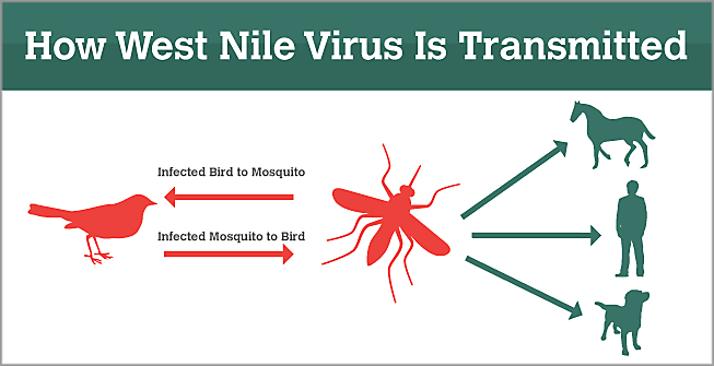 what is west nile virus? | history & dangerous forms, Skeleton