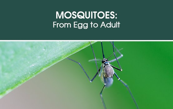 Mosquitoes: From Egg to Adult
