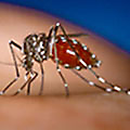 Aedes aegypti Mosquito - Biting Insect Library