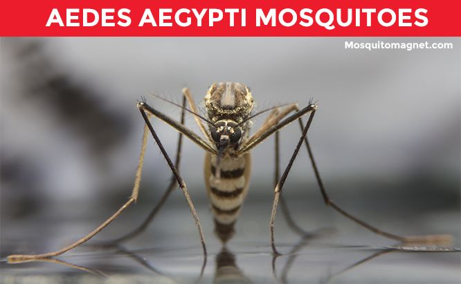 aedes egypti mosquito