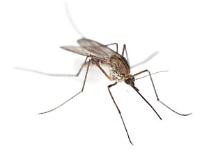 what a mosquito looks like up close