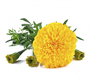 scents that repel mosquitoes marigold