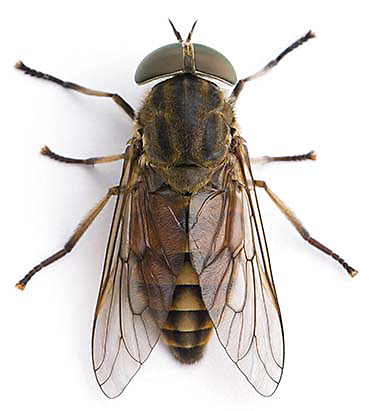 what does a horsefly look like?