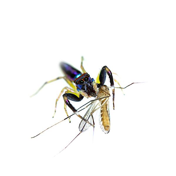 con gì ăn muỗi, ăn muỗi, nhện ăn muỗi, nhện ma cà rồng